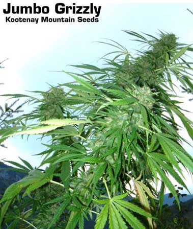 Jumbo Grizzly marijuana seeds