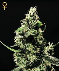 K Train single Green House seeds feminized