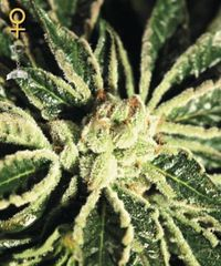 Kaia Kush single feminized seeds