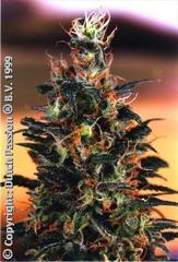 Khola dutch passion single feminized seeds