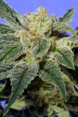 Heavyweight K.O.Kush Feminised Cannabis Seeds