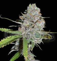 La Diva Automatic delicious single seeds