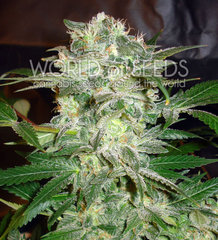 Mazar Kush marijuana single seed