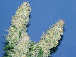Mota Khan Afghana - feminized seeds
