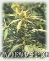 Hawaii Maui Waui seeds Ten Packs - Click Image to Close