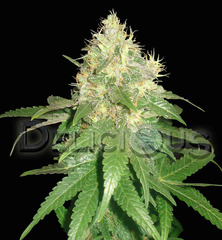Northern Light Blue single seeds