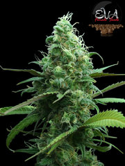 Pink Plant pink cannabis single seeds