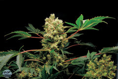 Power Kush single marijuana seeds