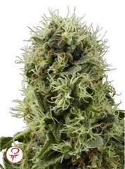 Power Plant marijuana single seeds
