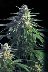 Power Skunk marijuana single seeds
