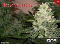 Rock Lock Ten Marijuana Seed Pack