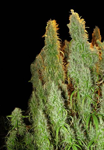 Red Beard marijuana seeds