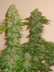 rocklock marijuana single seeds