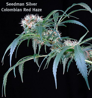 columbian red haze marijuana seeds