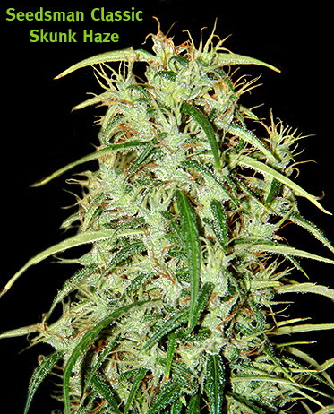Skunk Haze marijuana seeds 10 pack