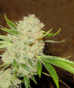 White Russian marijuana seeds