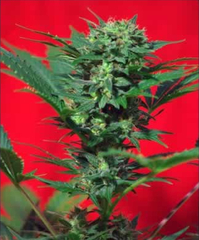 Speed Devil Automatic seeds