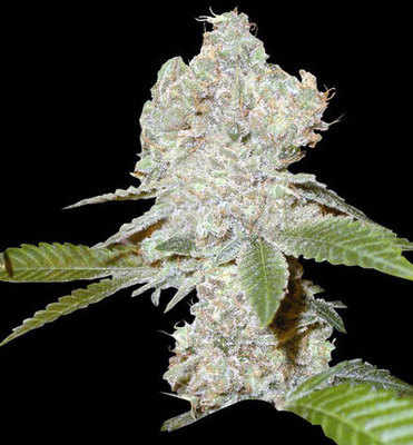 Strawberry Blue Ten Pack of marijuana seeds