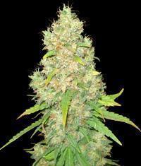 Sugar Black Rose 15 seeds