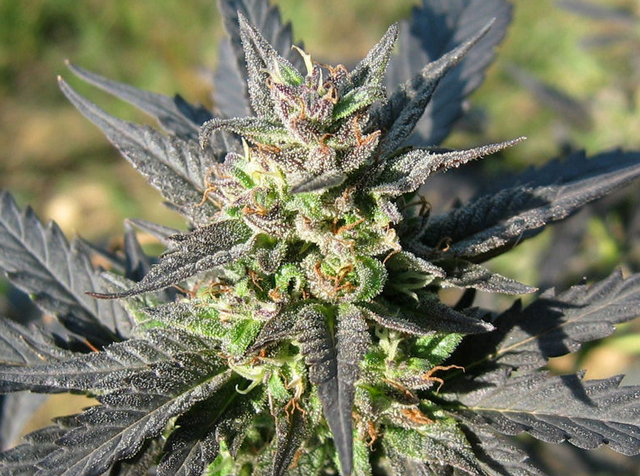 sugarwarp marijuana seeds