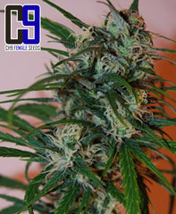Super Haze marijuana seeds