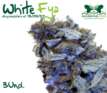 White Fya marijuana seeds
