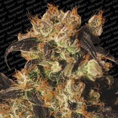White Berry marijuana single feminized seed