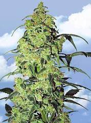 White Widow marijuana single seeds feminized