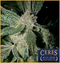 White Smurf marijuana seeds