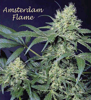 Amsterdam Flame