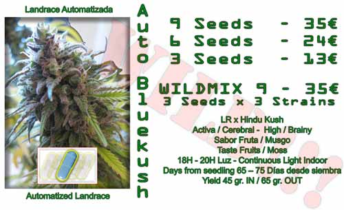 auto blue kush cannabis seeds