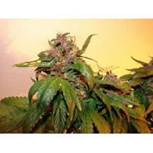 Black Dahila feminized seeds Ten Pack