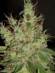 Black herer marijuana seeds