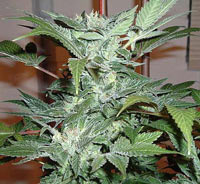 Blue streak marijuana seeds