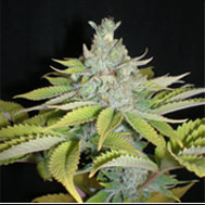 Cheese Wreck marijuana seeds