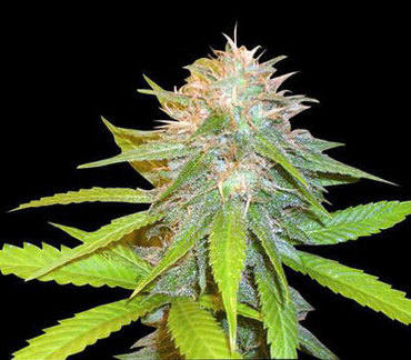 Chronic Haze marijuana seeds