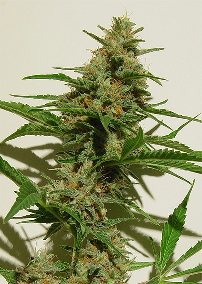 Cloud 9 marijuana seeds