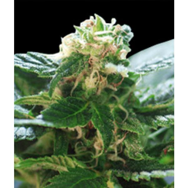 Colombian Santa Marta seeds