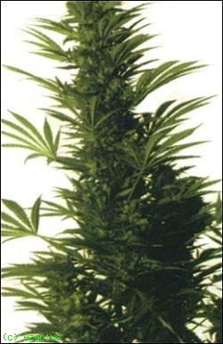 durpan poison x skunk seeds