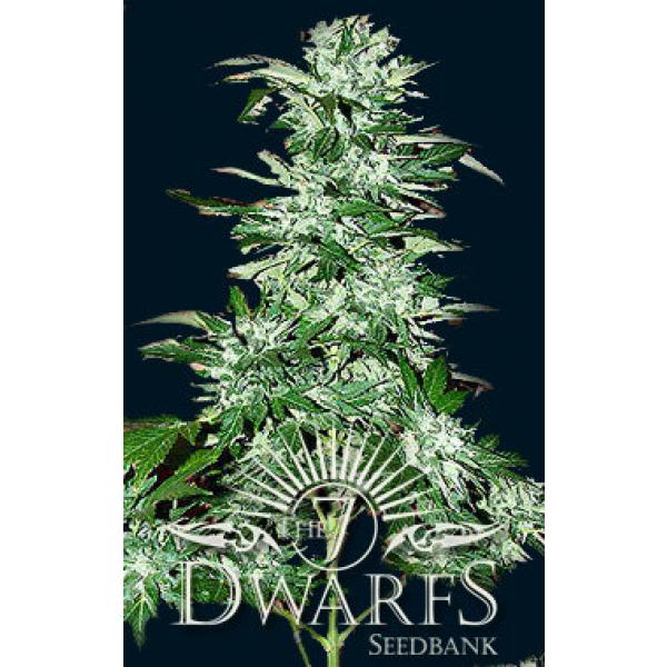 Cyclops feminised seed