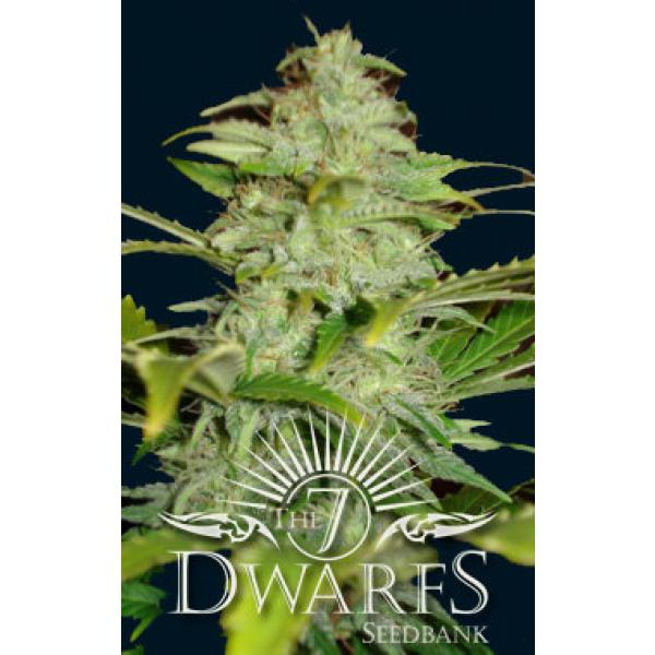 titan auto flowering feminized seeds