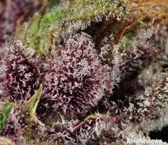 Fire Alien Urkle marijuana seeds