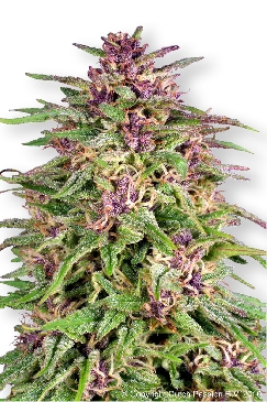 Frisian Dew marijuana seeds