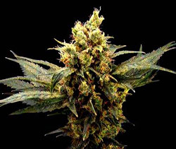 Killer Bud Feminized cannabis seeds