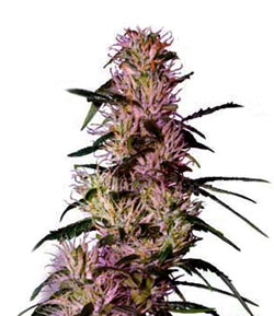 Purple Haze Feminised Cannabis Seeds
