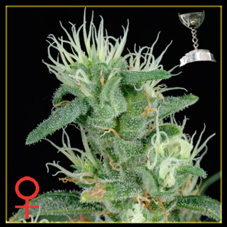 Big Bang Feminized