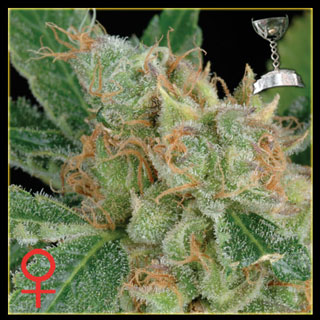 The Church Feminized Ten Seed pack