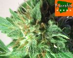 Aphrodite Feminized seeds