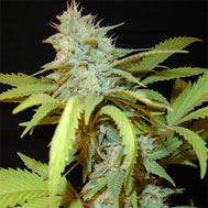 killa watt marijuana seeds