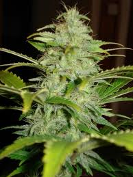 Kodiak Gold marijuana seeds